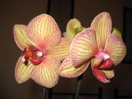 Stripy orchid 1 by CAStock