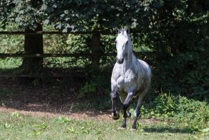 Beautiful Dappled Grey Mare on Paddock 36 by LuDa-Stock