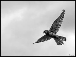 Kestrel Hover by cycoze