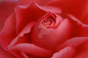 With the Roses so red... by phoenixaddict