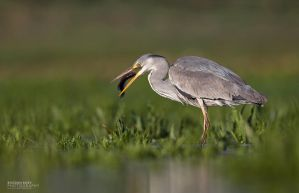 Grey Heron by BogdanBoev