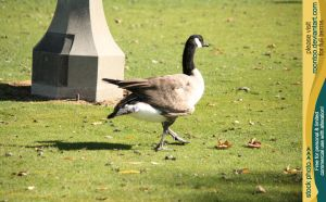 Canadian Goose 3 by RoonToo