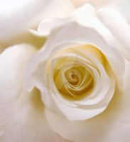 White Rose by aka-photography-uk