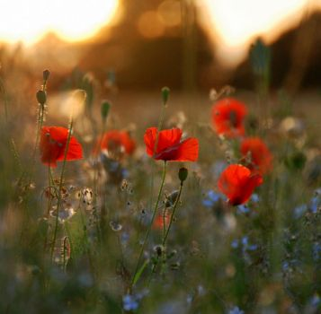 march of the poppies by Alison-Dakota