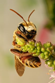 Solitary Bee on Mint II by dalantech