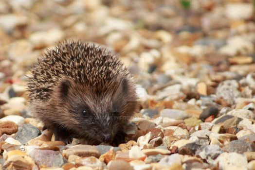 Baby Hedgehog by GMCollins