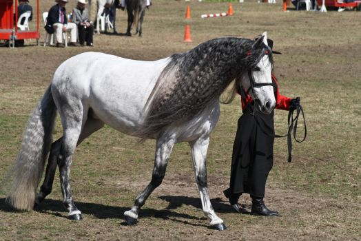 Andalusian 004 by AmoretteRose