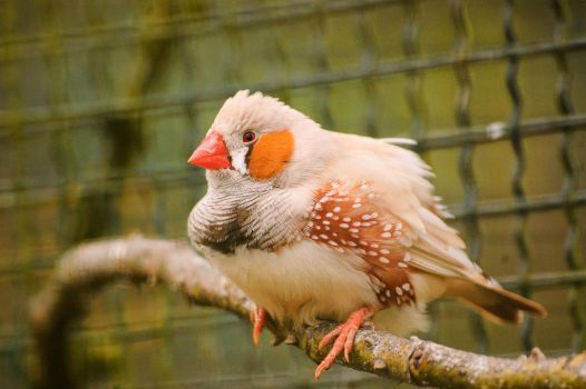 Zebra finch by tilk-the-cyborg