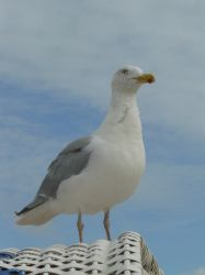 north sea gull by Mihraystock