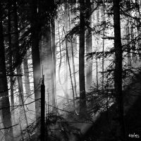The  forest of firs by rdalpes