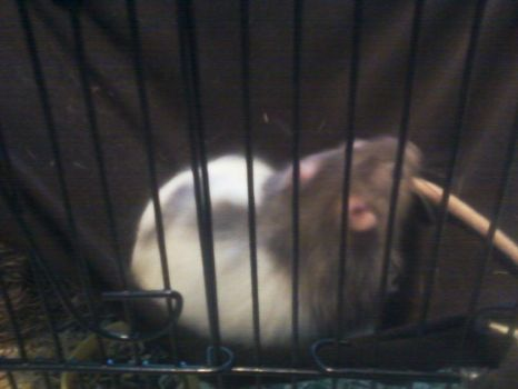 My rat by 78Wit7S