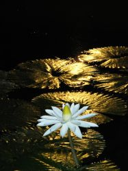 Water Lily - Paved with Gold by cookiesncream