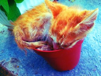 Kitten Sleeping in a Flowerpot by peppy-heppy
