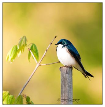 Tree Swallow - 1 by bp2007