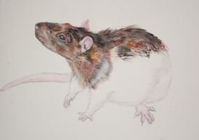 Agouti hooded rat by Mocarro