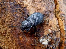 Black Beetle by BreeSpawn