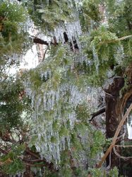 Ice Pine by Teckel1