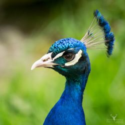 Peacock Pose by Lady---Vengeance