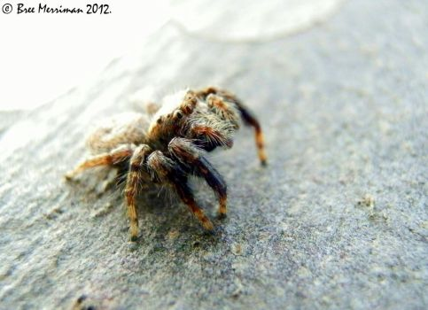 Jumping Spider by BreeSpawn