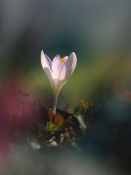 crocus by Bodghia