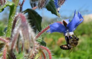 Bee on Borage 1 by dracontes