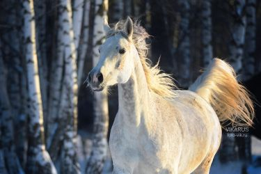 Russian winter and Arabian horse by Vikarus