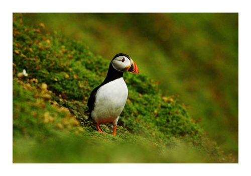 Puffin 3 by Wilce