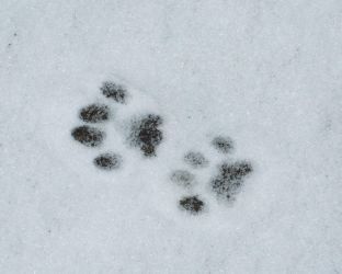 Cat footprint in snow stock by Quinnphotostock