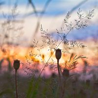 Poppies at Sunset by batmantoo