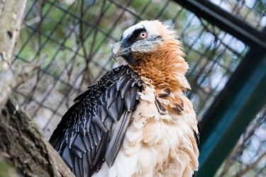 Bearded Vulture by morgh-us
