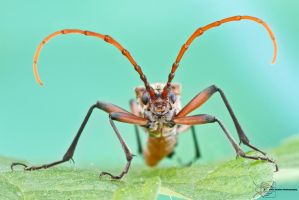 Longhorned Beetle - Cerambycidae by ColinHuttonPhoto