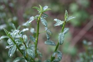Rain Drops on Leafs by BlueDragonRose