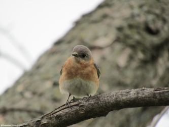 Making Eye-Contact (Eastern Bluebird) by PhotographerAlexC