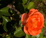 Orange rose closeup by Cyanida