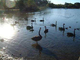 Black swans 2 by Deref