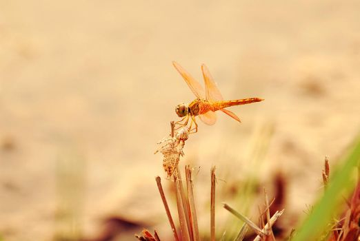 Dragonfly by Flamix