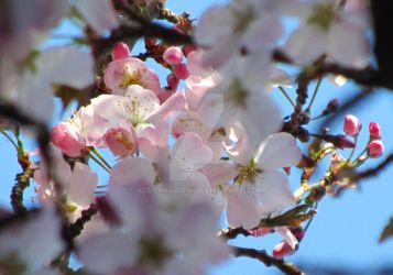 Japanese Cherry Blossom II by AderynDawn