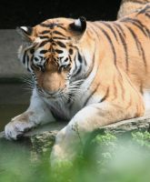 tiger in cologne Zoo 4 by ingeline-art