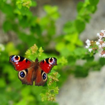peacock butterfly by Wilithin
