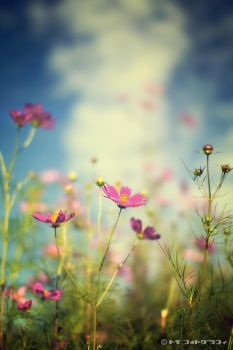 COSMOS by WindyLife