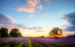 These Lavender Fields 2 by welshdragon