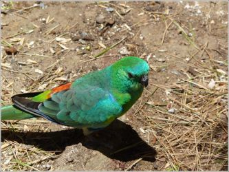60. Red-rumped Parrot 2 by fire-works