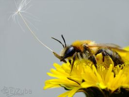 Andrena sp. by efeline