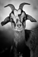 The Goat by DREAMCA7CHER