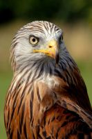 Red Kite by Shadow-and-Flame-86