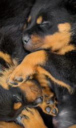 Rottweiler - puppies by BlackPepperPhotos