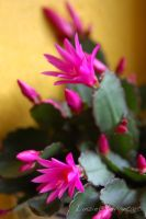 Easter Cactus by Lanzie