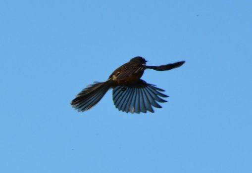 Fantail Flight 2 by idyle