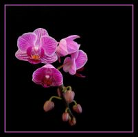 Orchids.... by Pjharps