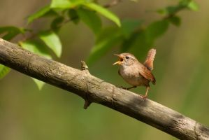 Northern Wren by CyprianMielczarek